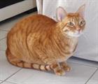 Oliver (Wohnungskatze)(2013)Arabian-Mau/Katzen
