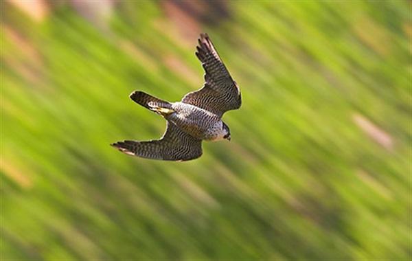 Der Wanderfalke ist der Vogel des Jahres 2018