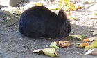 Struppi(2014)Löwenkopf Kaninchen/Kleintiere