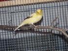 Maurice(0)Kanarienvogel/Kleintiere