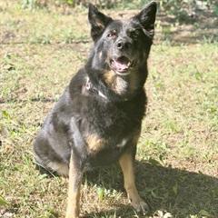 Laika(2007)Schäfer x Rottweiler/Hunde