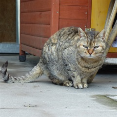 Maitile(2008)EHK/Katzen