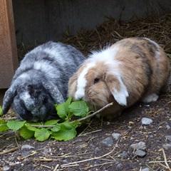 Blacky und Nina (2014)Widder Kaninchen/Kleintiere