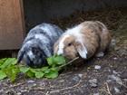 Nina und Blacky (2014)Widder Kaninchen/Kleintiere