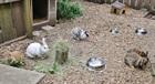 Kaninchen und Vermittlung(0)Kaninchen/Kleintiere