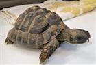 Fundschildkröte aus Eschen(0)Landschildkröte/Kleintiere