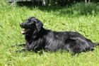 Balou(2007)Neufundländer mal Flat Coated Retriever/Hunde