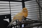 Giko(0)Kanarienvogel/Vögel