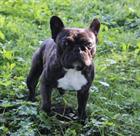 Rocky(2013)Franz. Bulldogge/Hunde