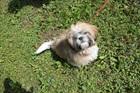 Max (2017)Shih Tzu - Tibet Terrier/Hunde