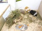 Dasha 2008, Speedy 2010, Rambo ca. 2013 (von li nach re)(0)Meerschweinchen/Kleintiere
