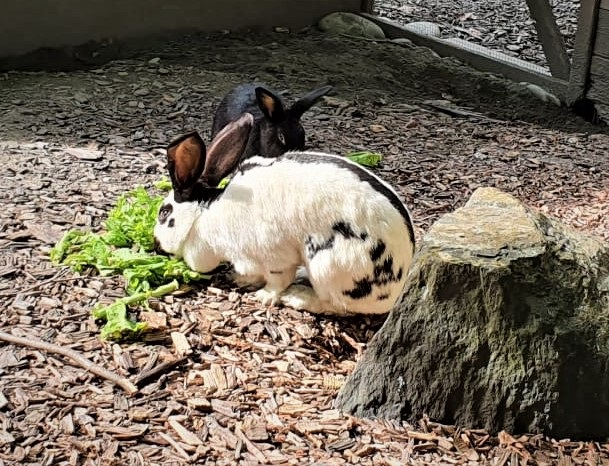 Crash (schwarz) und Belinda (2016)(0)Kaninchen/Kleintiere