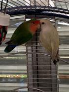 Rose und Limoncello(0)Agaporniden/Vögel
