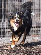 Kimi (2014)Berner Sennenhund x Appenzeller/Hunde