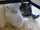 Zur Zeit hat es keine Chinichillas zur Vermittlung.(0)Chinchillas/Kleintiere