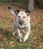 Floyde(2011)Schäfermischling/Hunde