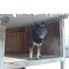 Laika(2007)Rottweiler x Schäferhund/Hunde