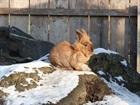 Jamiro (2011)Löwenkopf Kaninchen/Kleintiere