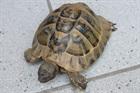 Herbert(0)Griechische Landschildkröte /Kleintiere