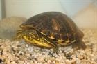 Nancy(2015)Wasserschildkröte/Kleintiere