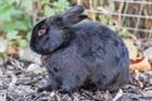 Blacky(2014)Kaninchen/Kleintiere
