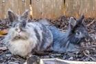 Ginger 2011 und Orchi 2010(2011)Löwenkopf/Kleintiere