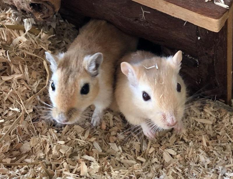 Minnie und Leo (2017)Gerbil, mongolische Wüstenrennmaus/Kleintiere