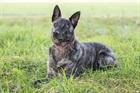 Tauro (2009)Holländischer Schäferhund/Hunde