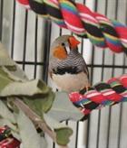 Tweety(0)Zebrafink/Vögel