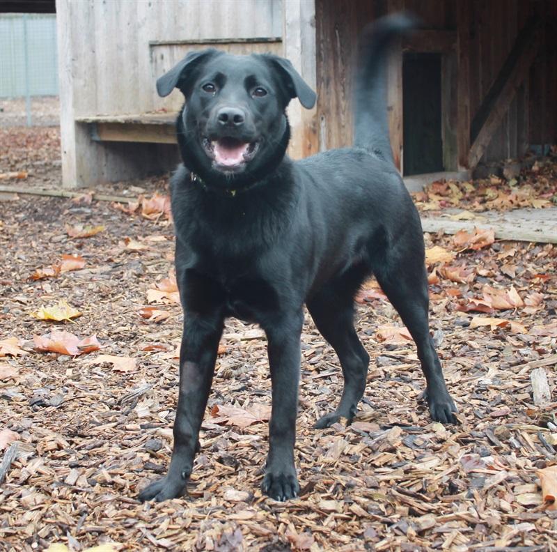 Linda (2018)Border-Collie x Labrador/Hunde