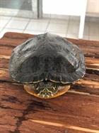 Gelbwangenschildkröte(0)/Kleintiere