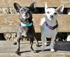 Zara 2012 und Wendy 2013(0)Chihuahua/Hunde