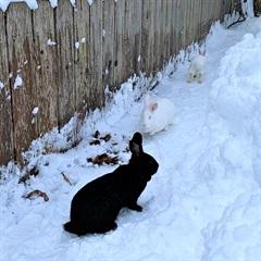 Pepper(2017)Kaninchen/Kleintiere
