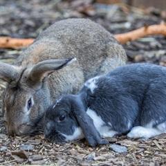 Dumbo 2014 und Rumba 2012(0)Widder Kaninchen/Kleintiere