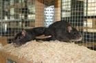 Itchy und Scratchy(2016)Ratten/Kleintiere