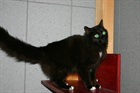 Tschitta (2006)EHK (Europäische Hauskatze) /Katzen
