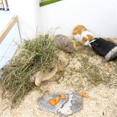 Meerschweinchen und Vermittlung(0)Meerschweinchen/Kleintiere
