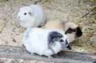 Snow (weiss),Gismo (weiss-grau)  < Rösle (crème) ist vermittelt ! >.&nbsp;(2017)&nbsp;Meerschweinchen/Kleintiere