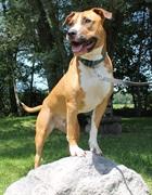 Atlas(2012)American Steffordshire x Pitbull/Hunde