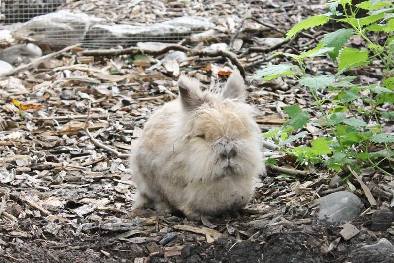 Strupfi (2010)Löwenkopf Kaninchen/Kleintiere