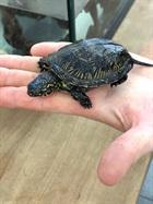 Sigi(0)Sumpfschildkröte/Kleintiere