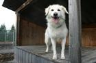 Bär(2004)Volpino Mischling/Hunde