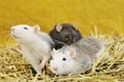 Bino, Buddy und Bilbo (braun) (2016)Ratten/Kleintiere