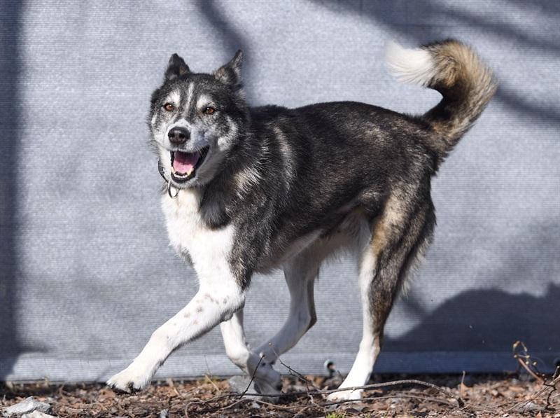 Buschka(2006)Siberian Husky x Border Collie/Hunde