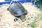 Sumpfschildkröte ()Sumpfschildkröte/Kleintiere