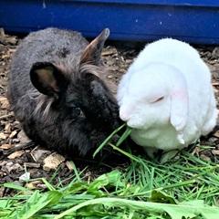 Blacky (2017) und Yuki (2016) (0)Zwergkaninchen/Kleintiere