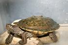 Rango()Höckerschildkröte/Kleintiere