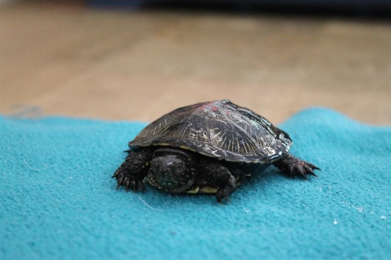 Babsi(2016)Schildkröte/Kleintiere