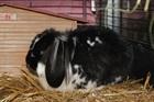Merlin(0)Kaninchen/Kleintiere