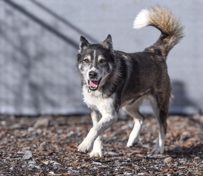 Buschka (2006)Siberian Husky x Border Collie/Hunde